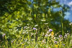 Meadow with wild flowers Royalty Free Stock Photography