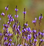 Meadow of wild flowers lavandula canariensis Stock Photos
