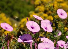 Meadow of wild flowers morning glory Royalty Free Stock Image