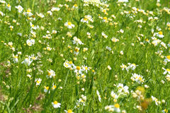 Meadow / Wild Flowers / summer background Stock Photography