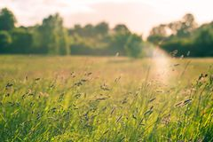 A meadow with wild plants lit by sunset light. Copy space. A field with wild plants lit by sunset light. Copy space Royalty Free Stock Image