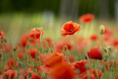 Meadow of wild poppies. Wild poppies field on shiny summer day royalty free stock images