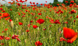 Meadow with wild poppies Stock Images