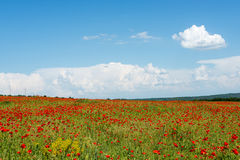 Meadow with wild poppies Royalty Free Stock Image