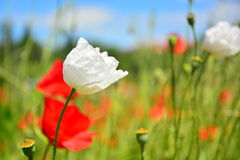 Meadow with wild poppies Stock Photos