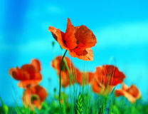Meadow with wild poppies Royalty Free Stock Photo