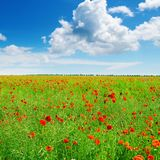 Meadow with wild poppies and blue sky. Royalty Free Stock Photo