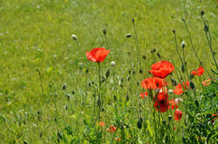 Meadow with wild poppies Royalty Free Stock Photography