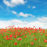Meadow with wild poppies and  sky Stock Image
