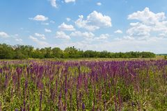 Meadow with wild purple salvia flowers. Summer landscape royalty free stock photos