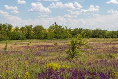 Meadow with wild purple salvia flowers. Summer landscape stock images