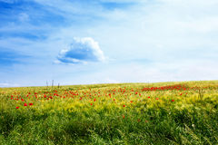 Meadow with wild red poppies and a clear blue sky Stock Photography