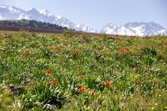 Meadow of wild tulips on the background of snowy mountains Stock Photography