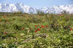 Meadow of wild tulips on the background of snowy mountains Stock Photos