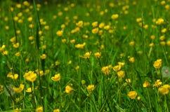 Meadow of wild yellow flowers Stock Image