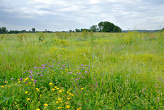 meadow wildflower Zdjęcia Royalty Free