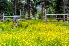 Meadow of wildflowers Banff National Park. In front of a rustic rail fence Stock Photo