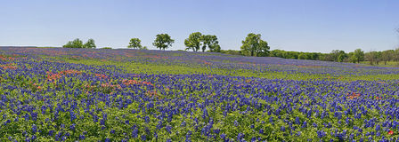 Meadow of wildflowers - bluebonnets and paintbrush Royalty Free Stock Photo