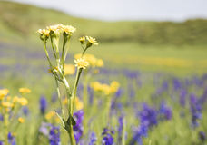 Meadow of Wildflowers in Colorado Stock Photo