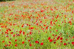 Free Meadow With Poppies, Provence, France Royalty Free Stock Photo - 172873405