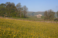 Meadow of yellow buttercups. Wensleydale yorkshire dales national park a field of wild yellow buttercups divided by stone dry walls and woodland in the Stock Photos