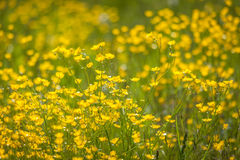 Meadow with yellow buttercups Royalty Free Stock Images
