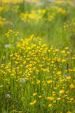 Meadow with yellow buttercups Stock Photography