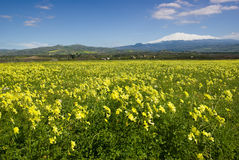 Meadow of yellow clover in flower Stock Images