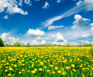 Meadow with yellow dandelions. Stock Photography