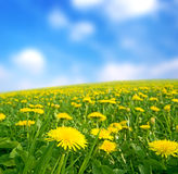 Meadow with yellow dandelions. Royalty Free Stock Photo