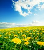 Meadow with yellow dandelions. Photo of meadow with yellow dandelions Stock Photo