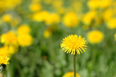 Meadow of yellow dandelions. To serve as background Royalty Free Stock Photo