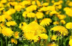 Meadow with yellow dandelions stock images