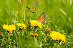 Meadow of yellow dandelions and butterflies Stock Photos