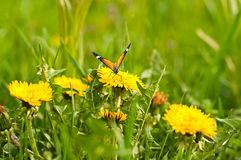 Meadow of yellow dandelions and butterfly Stock Images