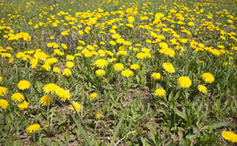 Meadow with yellow dandelions closeup Stock Photography