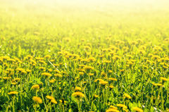 Meadow with yellow dandelions closeup Royalty Free Stock Photos