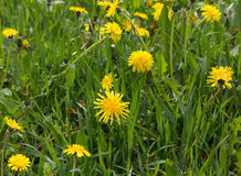 Meadow with yellow dandelions Royalty Free Stock Image