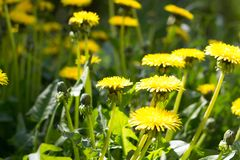 Meadow with yellow dandelions stock image