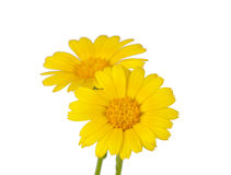 Meadow yellow flower Royalty Free Stock Images