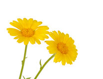Meadow yellow flower Royalty Free Stock Photography