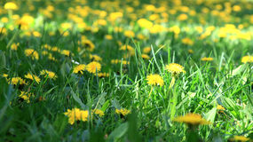 Meadow with yellow flowers. Green meadow full of small yellow flowers Royalty Free Stock Image