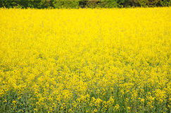 Meadow of yellow flowers Royalty Free Stock Photo
