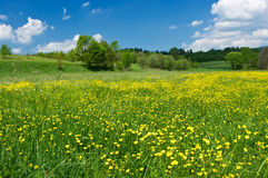 Meadow with yellow flowers Royalty Free Stock Image