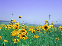 Meadow with yellow flowers Stock Photos