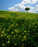 Meadow with yellow flowers stock photo