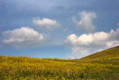 Meadow of yellow flowers. Yellow flowers blooming in countryside meadow with blue sky and cloudscape background stock photography