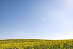 Meadow of yellow flowers on blue sky. Stock Images