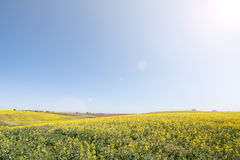 Meadow of yellow flowers on blue sky. Royalty Free Stock Images