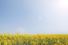 Meadow of yellow flowers on blue sky. Royalty Free Stock Photography